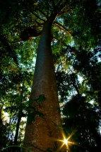 The Kauri Pine
